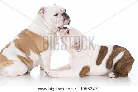 bulldog puppy nuzzling up to her mother on white background
