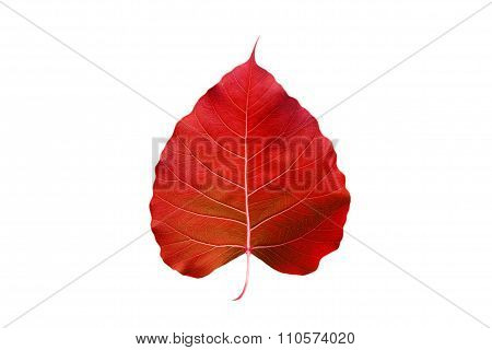 abstract colorful red leaf, isolated on white background