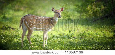 Wild Spotted Deer