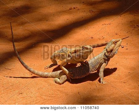 Two lizards about to make love
