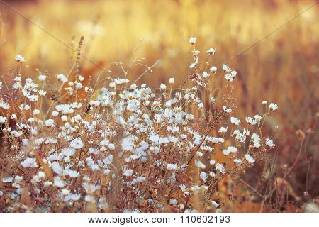 White beautiful flowers in dry grass in sunny vintage field background. Autumn nature in evening sun