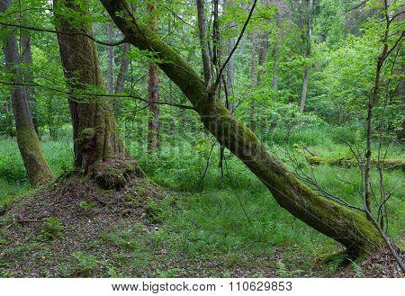 Old Hornbeam Trees In Fall