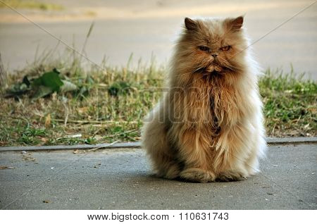 Red angry cat