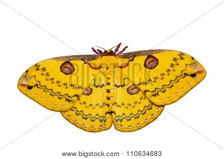 Isolated Golden Emperor Moth