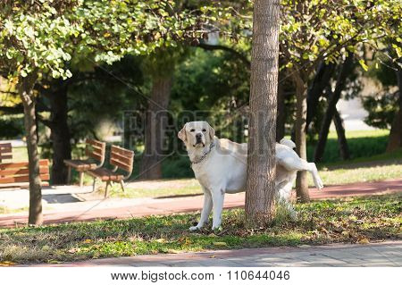 Labrador peeing at a tree in a park.