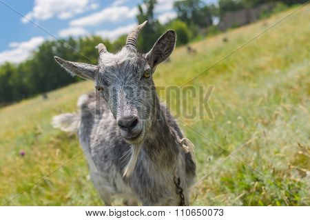 Portrait of a cute grey goat on a summer pasture