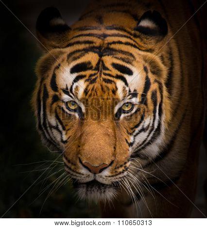 Sumatran Tiger close-up.
