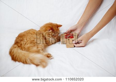 Woman gives her flurry pet a christmas present. Ginger cat looks curiously at a gift in craft paper with crocheted red snowflake. poster