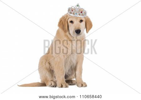 Golden Retriever Puppy Sitting With Crown Isolated On White