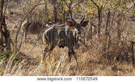 Nyala In Kruger National Park
