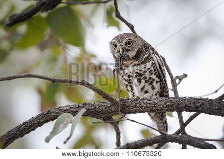 African Barred Owlet In Kruger National Park