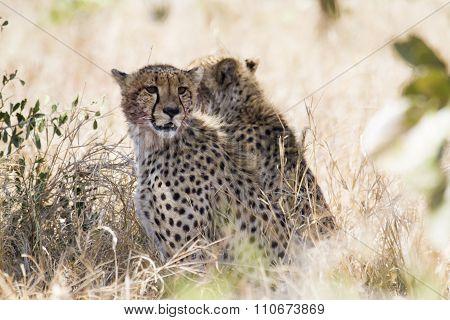 Specie Acinonyx jubatus family of Felidae, two Cheetahs hidden in the bush  In Kruger National Park