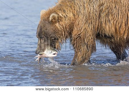 Grizzly Bear With A Fish In His Mouth