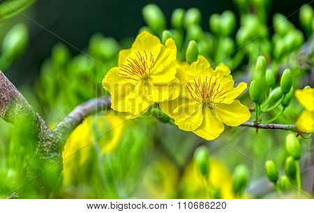 Double yellow apricot flowers bloom together in spring morning