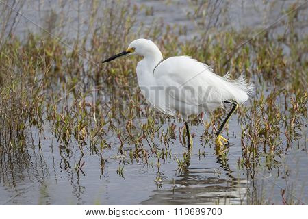 Snowy Egret Wading in a Marsh
