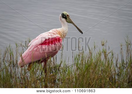 Roseate Spoonbill Wading In A Marsh