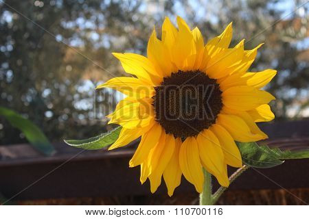 Sunflower Basking in the Sun