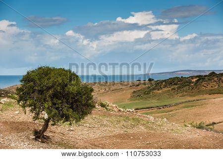 Argan Tree In Morocco