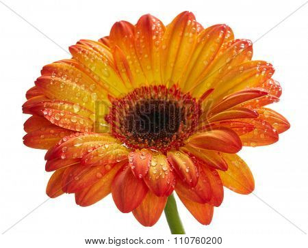 Orange daisy gerbera flower with waterdrops. Isolated on white