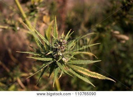 Cannabis Outdoor