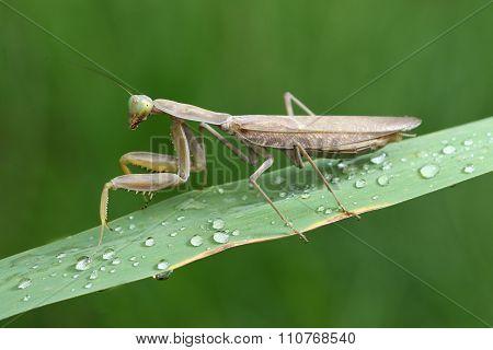 Brown Prayingmantis Sitting On The Wet Green  Plant