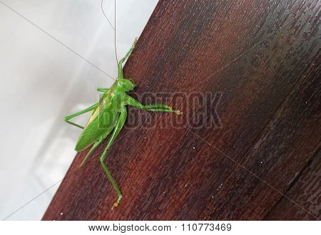 Green Cricket On A Wooden Background