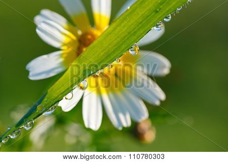 Close up of some water drops with daisy reflection