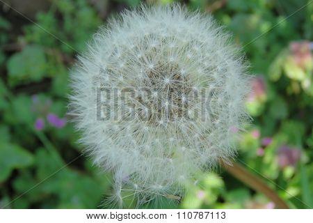 Dandelion clock