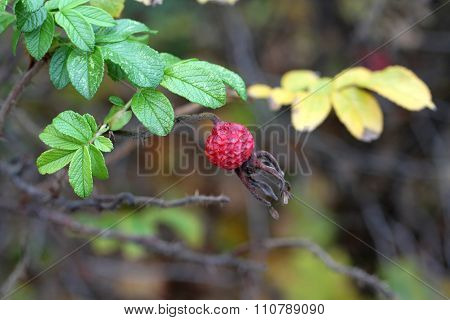 Autumn dull day - wild rose hips
