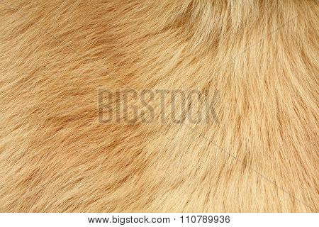 Short smooth beige lama fur texture. Closeup