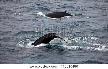 Humpback whales  (Megaptera novaeangliae) in Arctic