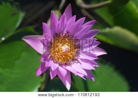pink lotus petals wilted.