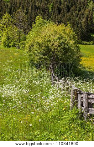 Flower Meadow In South Tyrol