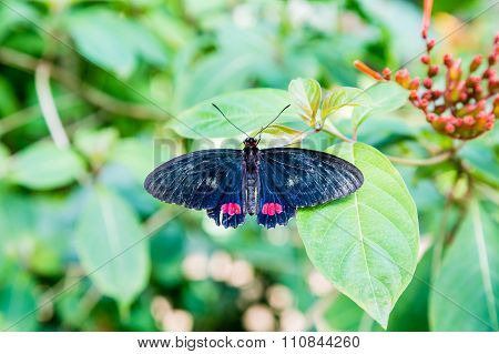 Dark Blue Butterfly With Red Markings