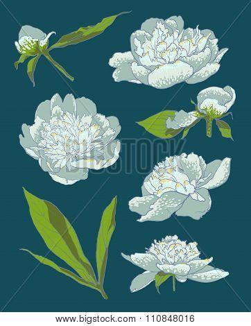 Peony flowers vector llustration set