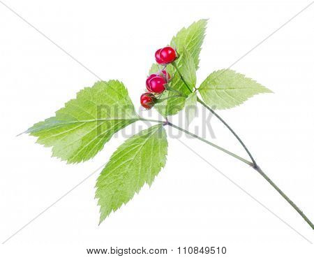 red stone bramble isolated on white background