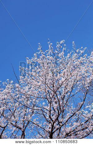 Someiyoshino cherry tree, cherry blossom under a deep blue sky.