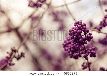 Purple Berries On A Winter Day