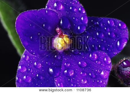 African Violet 004