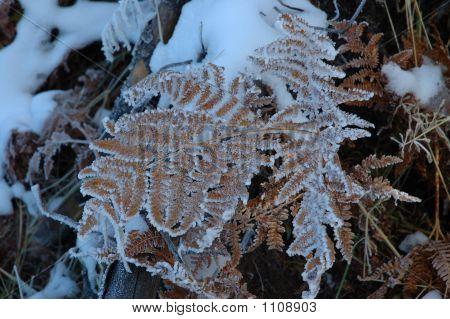 Frozenfern