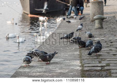 Pidgeons On The Elbe Waterfront