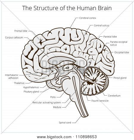 Structure of human brain section schematic vector illustration. Medical science educational illustration poster