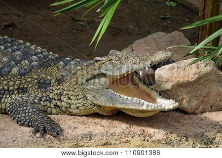 Crocodile Jaws Wild Animal