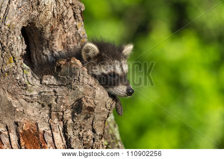 Young Raccoon (procyon Lotor) Hangs Out Knothole