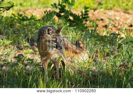 Grey Fox Vixen (urocyon Cinereoargenteus) Looks Right