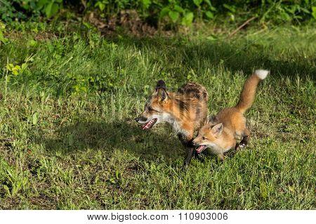 Red Fox Vixen (vulpes Vulpes) And Kit Run Left