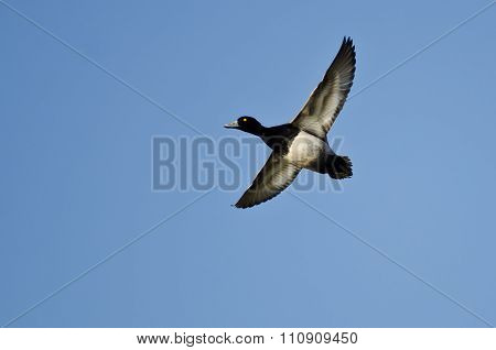 Male Lesser Scaup Flying In A Blue Sky