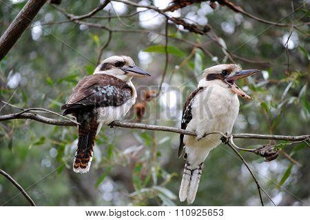 Kookaburras (Australian Laughing Birds) in a tree
