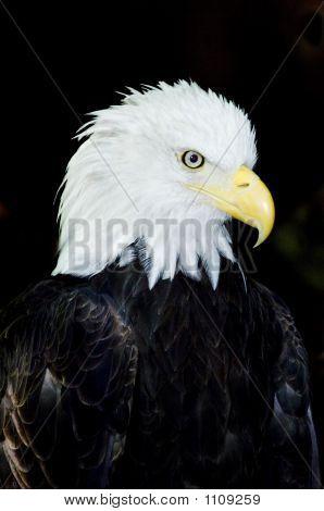 Bald Eagle Pct0934