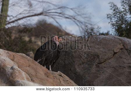 California condor, Gymnogyps californianus